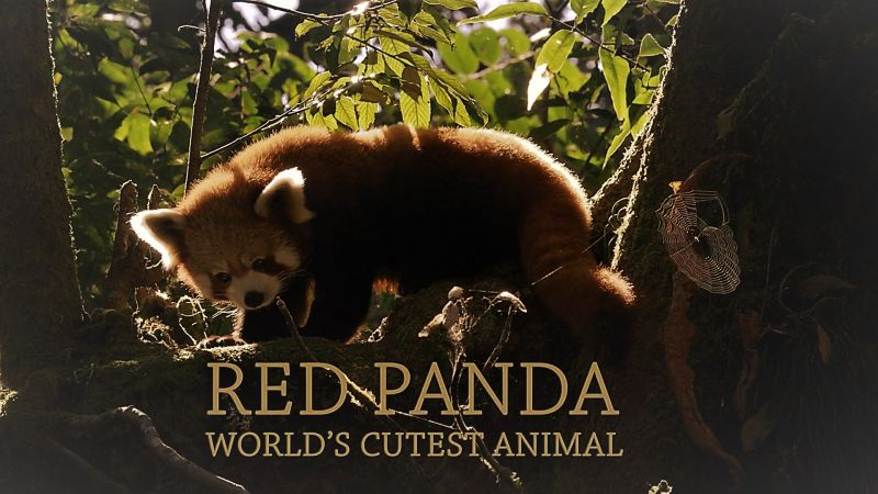 Image: Red-Panda-World-s-Cutest-Animal-Cover.jpg