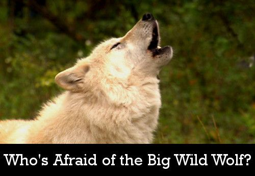 Image: Whos-Afraid-of-the-Big-Wild-Wolf-Cover.jpg