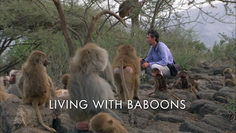 Image: Living-with-Baboons-BBC-1080p-Cover.jpg
