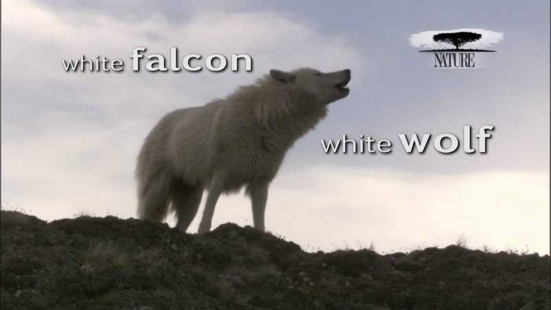 Image: White-Falcon-White-Wolf-PBS-Cover.jpg