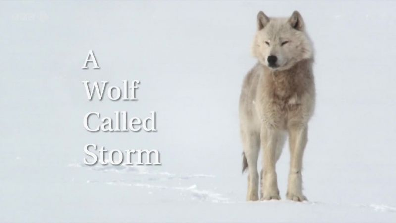 Image: A-Wolf-Called-Storm-Cover.jpg
