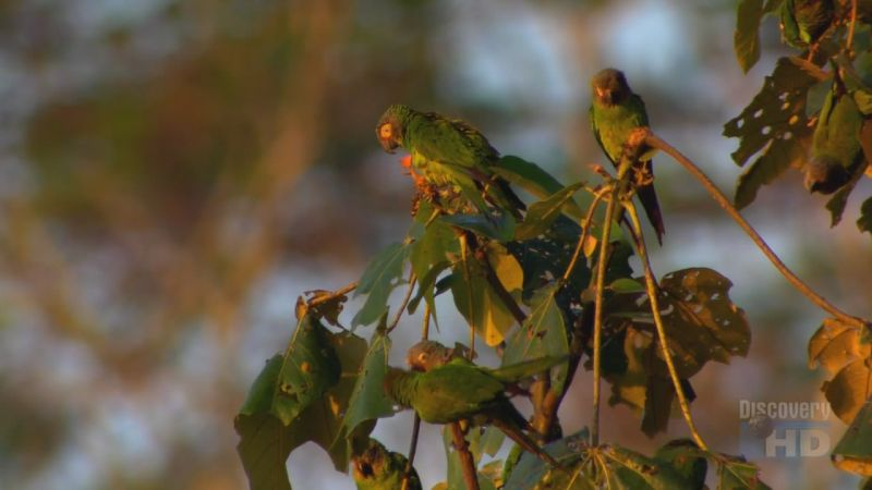 Image:Amazon-Parakeets-Screen9.jpg