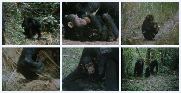 Image: People-of-the-Forest-The-Chimps-of-Gombe-Screen0.jpg