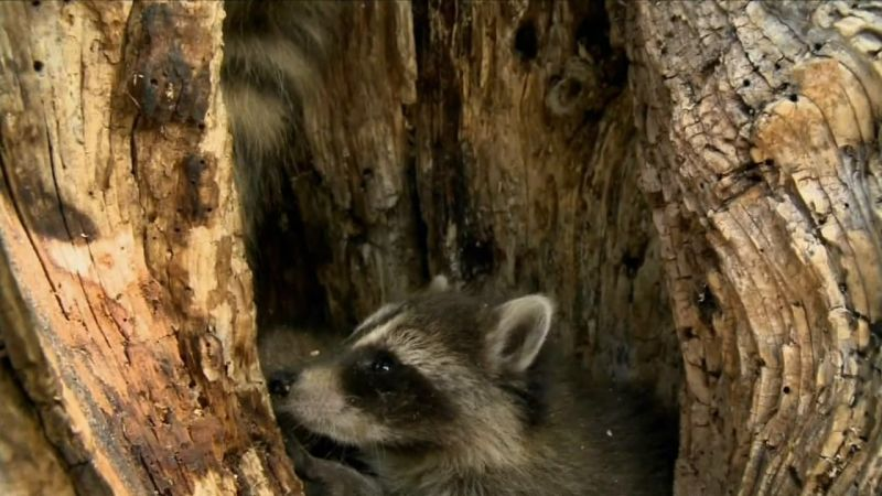 Image:Raccoon-Nation-Screen8.jpg
