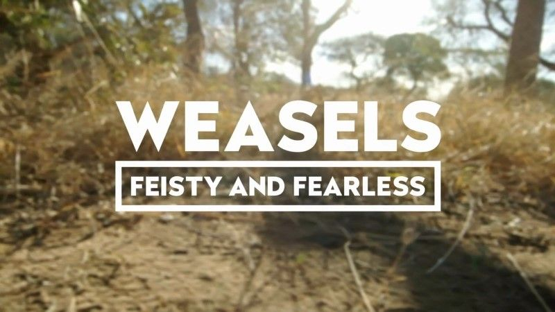 Image: Weasels-Feisty-and-Fearless-Cover.jpg