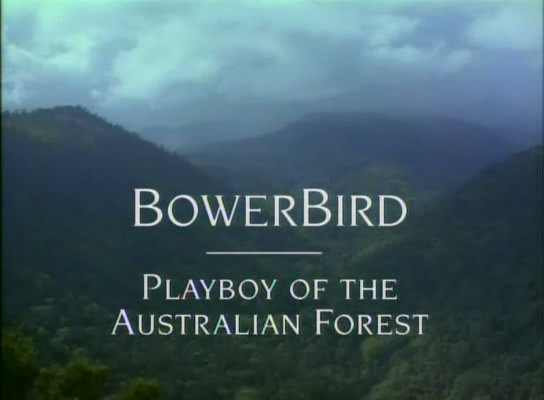 Image: BowerBird-Playboy-of-the-Australian-Forest-Cover.jpg