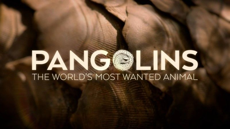 angolins: The World's Most Wanted Animal