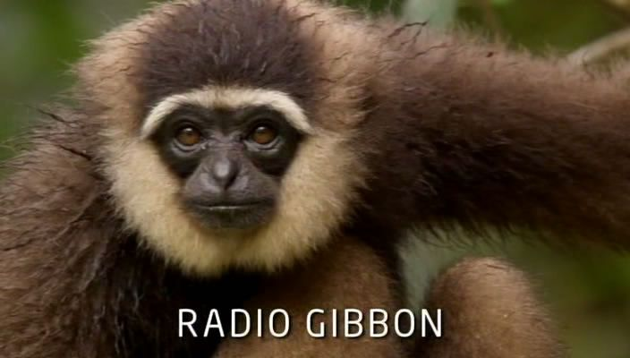 Image: Radio-Gibbon-Cover.jpg