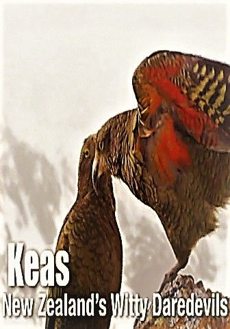 Image: Keas-New-Zealand-s-Witty-Daredevils-Cover.jpg